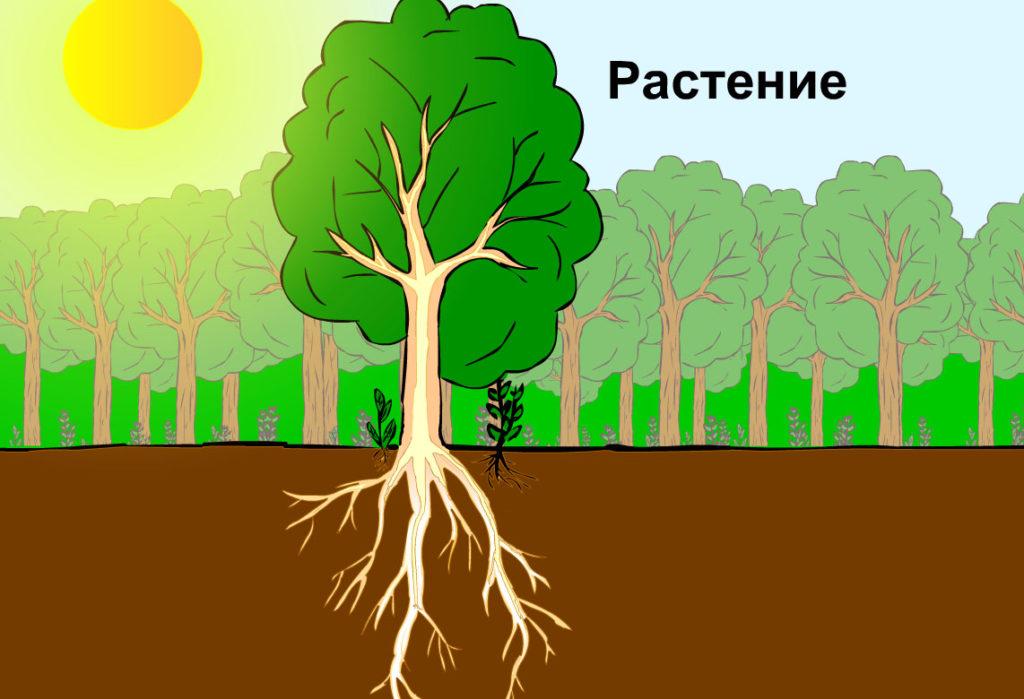 Корни растений подстраиваются под капиллярную сеть почвы