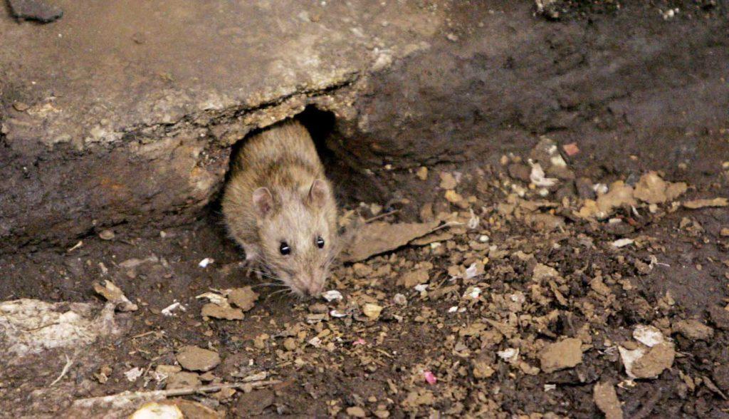 Крысиный ход в фундаменте